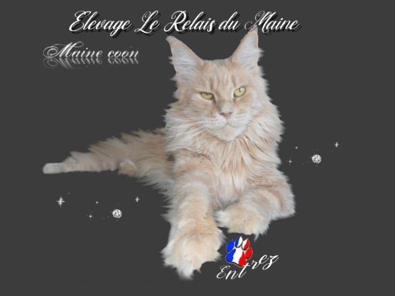 Maine Coon, chat à poils mi-longs, chat état du Maine